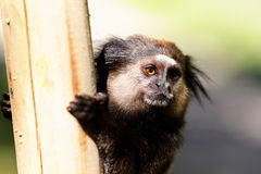 Black Lion Tamarin holding a post Stock Photo