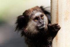 Black Lion Tamarin hung on a post Royalty Free Stock Image