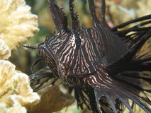 Black lionfish. Common lionfish (Pterois volitans) in its juvenile phase indicated by black coloration. As other fish belonging to the scorpionfish family the royalty free stock photography