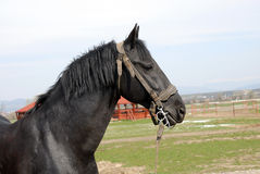 Black Lipizzan horses Royalty Free Stock Image