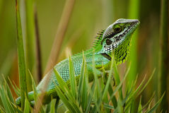 Black-lipped Lizard Stock Photography