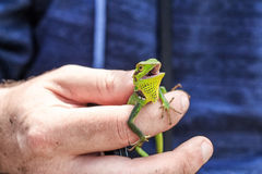 Black lipped lizard or Calotes nigrilabris. Black-lipped Lizard or Calotes nigrilabris in Sri Lanka Stock Photography
