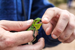 Black lipped lizard or Calotes nigrilabris Stock Photography