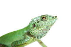 Black lipped Lizard, Calotes nigrilabris, on white Stock Photo