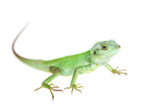 Black lipped Lizard, Calotes nigrilabris, on white Stock Images