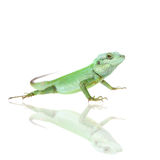 Black lipped Lizard, Calotes nigrilabris, on white Royalty Free Stock Photos