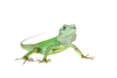 Black lipped Lizard, Calotes nigrilabris, on white Royalty Free Stock Photography