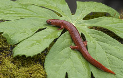 Black Lipped Orange Salamander on a green leaf. Royalty Free Stock Photo
