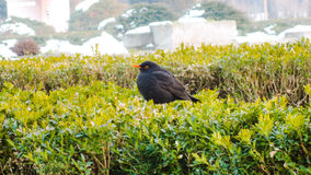 Black little bird Royalty Free Stock Photography