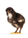 Black little chicken isolated Stock Photo