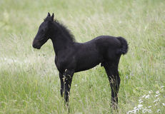 Black Little Colt On The Meadow Royalty Free Stock Image