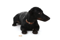 Black little dachshund dog Stock Image