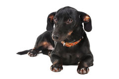 Black little dachshund dog Royalty Free Stock Photo