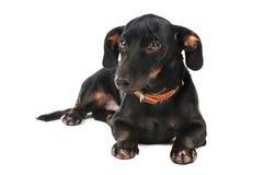 Black little dachshund dog Royalty Free Stock Photo