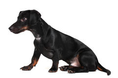 Black little dachshund dog Stock Photography