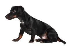 Black little dachshund dog Stock Photography