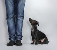 Black little dachshund dog Royalty Free Stock Photography