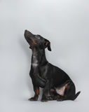 Black little dachshund dog Royalty Free Stock Photos