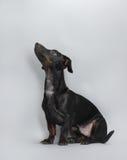 Black little dachshund dog Royalty Free Stock Photos