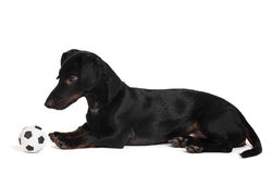 Black little dachshund dog and ball Stock Images