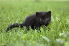 Black little kitten Royalty Free Stock Image