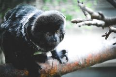 Black little monkey royalty free stock images