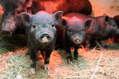 Piglets black look forward royalty free stock photography