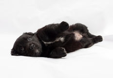 Black little puppy lying on gray. Background Stock Image