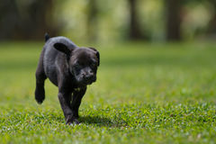 Black little puppy running Stock Photo