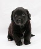 Black little puppy sitting on gray. Background Stock Photography