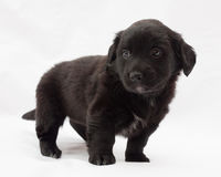 Black little puppy standing on gray Stock Photography