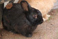 Black Little rabbit. Royalty Free Stock Photography