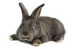 Black little rabbit Stock Photos