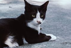 A black and little white unbridled cat lies on concrete floor. royalty free stock image