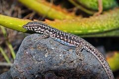 Black lizard, blue patches. Filfola lizard laurentiimuelleri. Subspecies of lizard Podarcis filfolensis laurentiimuelleri, endemic to the islands of Linosa and stock image