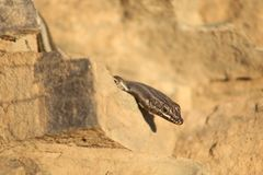 Black lizard nearby Leeu Gamka stock photo