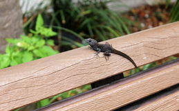 Black lizard resting on park bench Royalty Free Stock Images