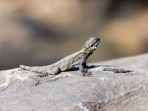 Black lizard sitting on a rock on the morning and   basking in the sun. Stock Photos