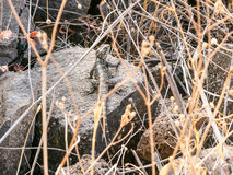 Black lizard sitting on a rock on the morning and   basking in the sun. Royalty Free Stock Image