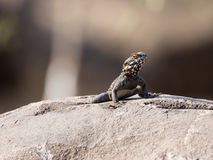 Black lizard sitting on a rock on the morning and   basking in the sun. Royalty Free Stock Photo