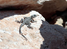 Black lizard sitting on a rock on the morning and  basking in th Royalty Free Stock Images