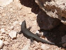 Black lizard in stones. Royalty Free Stock Photos