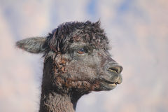 Black llama. A close-up of a black Llama Stock Photos