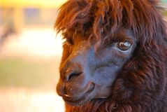 Black Llama with Lots of Shaggy Fur. Shaggy fur on a black llama with an adorable face Stock Images