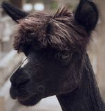 Black Llama. Photo of a black llama on a farm stock image
