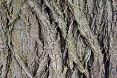 Black locust bark. Close up of black locust tree bark Royalty Free Stock Photo