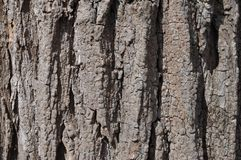 Black Locust Tree Bark Royalty Free Stock Photos