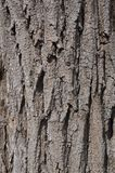 Black Locust Tree Bark Royalty Free Stock Images