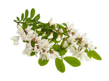 Black locust Royalty Free Stock Photography