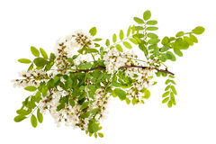 Black locust Stock Photography
